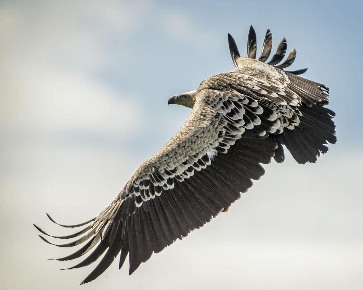 World of Wings Lanarkshire World of Wings Lanarkshire Ruppells Vulture - Gandalff